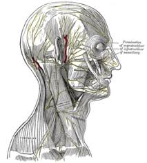 Behind The Ear Anatomy Great Auricular Nerve Wikipedia