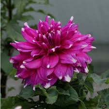 blooming plants 20seeds rushed new arrival summer blooming plants virgo dahlia