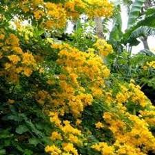 buy cassia trees at best price plants