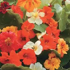 nasturtium flower mix nasturtium flower seeds veseys