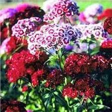 sweet william flowers dianthus seeds dianthus barbatus sweet william flower seed