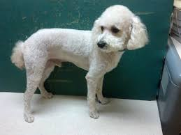 pictures of poodle haircuts poodle toy mini groom page naju the fun place for your pets