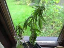 Plants That Grow In Dark Rooms by Cannabis Root Problems Grow Weed Easy