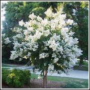 buy flowering trees 50 at ty ty nursery