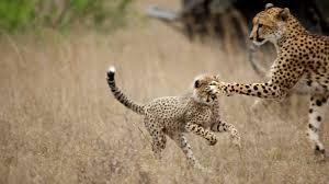 h2h cheetah2 ngsversion 1441723683511 jpg