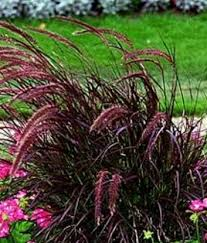 grass pennisetum setaceum naples florida