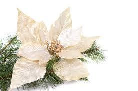 white poinsettia a white christmas poinsettia stock photos image 34985233