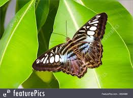 blue tiger striped butterfly photo