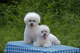 bichon frise names male bichon frise dog breed information pictures characteristics