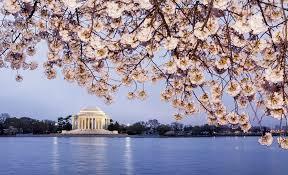 44 fantastic photos of beautiful cherry blossom u0026 kite festival in dc