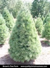 buy white pine christmas trees online