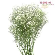 bulk baby s breath baby s breath flowers bulk bloomsbythebox