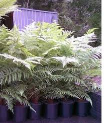 best 25 australian tree fern ideas on tree fern