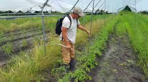 florida weave tomato trellis growers helping growers youtube