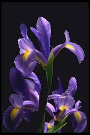 Iris by Best 20 Iris Flowers Ideas On Pinterest Iris Iris Wedding