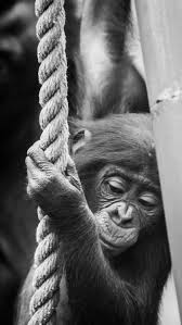 siege social bonobo 267 best end extinction images on nature animals