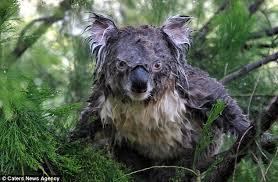 Angry Koala Meme - just a friendly reminder that a wet koala looks like a sweaty angry