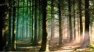 wallpaper tumblr forest morning in forest and trees wallpaper