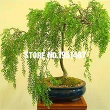 buy willow tree plants and get free shipping on aliexpress