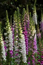 99 best foxgloves garden images on pinterest flower gardening