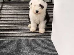 affenpinscher for sale canada old english sheepdog dogs and puppies for sale in the uk pets4homes
