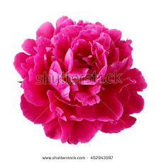 Peony Flower Purple Peony Flower Isolated On White Stock Photo 402943597