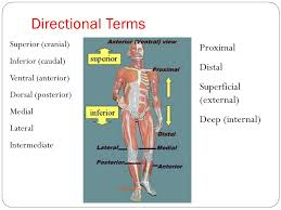 Directional Terms Human Anatomy Human Anatomy And Physiology I Ppt Video Online Download