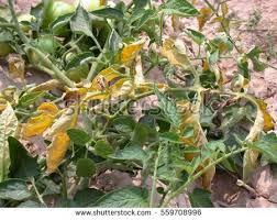 Tomato Plant Wilt Disease - wilt stock images royalty free images u0026 vectors shutterstock