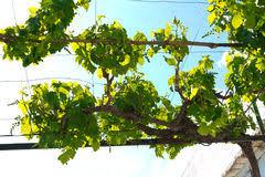 Grape Vine Pergola by Grape Pergola Stock Photos Images U0026 Pictures 186 Images