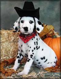 simi dalmatian puppy dressed cowboy cowboy