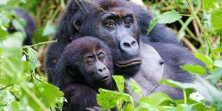 Gorilla by Bbc Earth How To Make Friends With Wild Gorillas