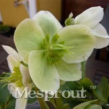 aliexpress buy novelty plant 100pcs hellebore