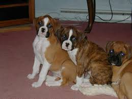 boxer dog quebec the 1399 best images about b o x e r on pinterest brindle boxer