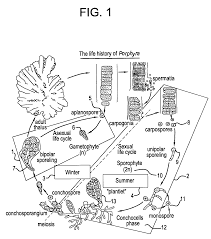 patent us20050120624 technology for cultivation of porphyra and