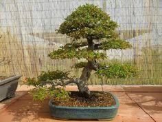 pictures of different types of bonsai trees bonsai tree meaning