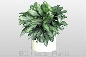 best indoor plants brisbane zanzibar gem low light plants
