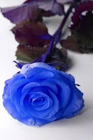 white and blue roses how to dye white roses blue hunker