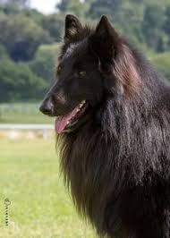 belgian shepherd uk what is an old time farm shepherd how do they differ from an
