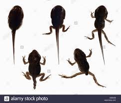 tadpole frog stock photos u0026 tadpole frog stock images alamy
