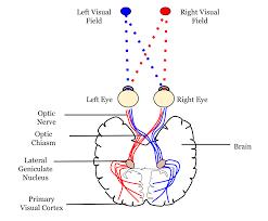 Pathway Of Light Through The Eye Neural Pathway Wikipedia