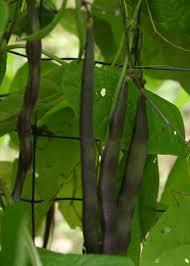 pole beans vegetable gardener
