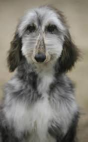 owning an afghan hound smooth coated afghan hound unusual colors and coats in dogs