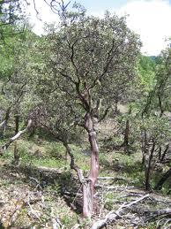 manzanita tree manzanita trees and shrubs