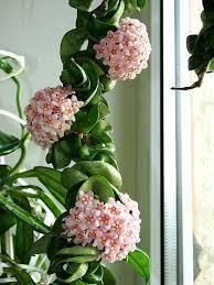 hindu plant unusual flowering easy care non poisonous