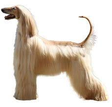 afghan hound breeders europe afghan hound dog breed information dogspot in