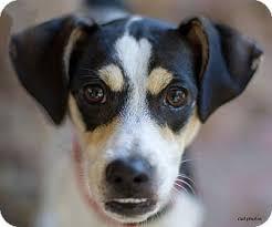 affenpinscher with underbite ruby adopted dog 14 00446 baton rouge la rat terrier