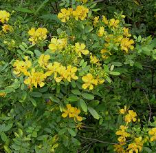 Yellow Flowering Bushes And Shrubs Fairchild Tropical Botanic Garden U003e Home Gardening U003e Creating A