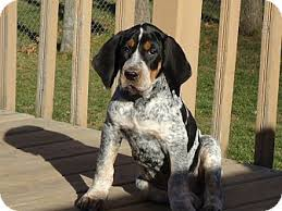 bluetick coonhound sale nelson adopted puppy appleton wi bluetick coonhound