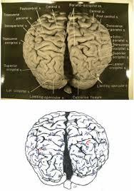The Anatomy Of The Human Brain The Cerebral Cortex Of Albert Einstein A Description And
