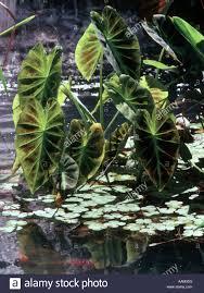 pond with ornamental plants leafy water garden gardens cut